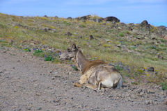 Big horn sheep Stock Photo