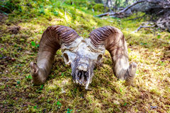 Big Horn Sheep skull Royalty Free Stock Images