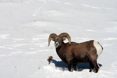 Big Horn Sheep in Snow. A large Big Horn Sheep takes a pause from digging in the snow.  Taken in Montana Royalty Free Stock Photography
