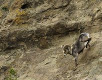 Big horn sheep in the spring. A big horn ram running down the side of a mountain in yellowstone national park royalty free stock photography