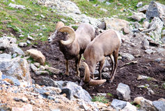 Big Horn sheep in the wild Royalty Free Stock Photography