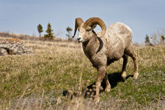Big Horn Sheep in Wilderness. A big horned sheep alone in the wild Royalty Free Stock Photography