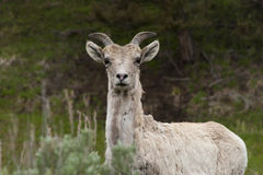 Big Horn Sheep in Yellowstone. Startled Ram in Yellowstone National Park Royalty Free Stock Photo