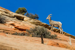 Big horn sheep. Young big horn sheep climbing colorful sandstone cliffs in Zion NP stock photos