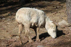 Big Horn Sheep. Young Big Horn Sheep standing and eating Stock Images