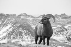 Big Horn Sheept en hiver dans les bad-lands Photos libres de droits