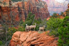 Big Horn Summit. Big Horn Sheep in Zion National Park Stock Photography