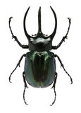 Big horned beetle. Big green and black horned beetle isolated on white Stock Images