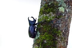 Big horned beetle Royalty Free Stock Images