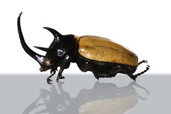 Big horned beetle. Stock Photos