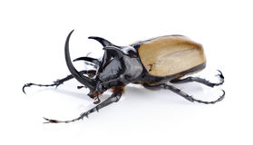 Big horned beetle. On white background Royalty Free Stock Images