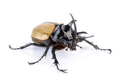 Big horned beetle on white Stock Photography