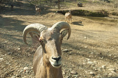 Big-horned Goat staring at the camera. Royalty Free Stock Image