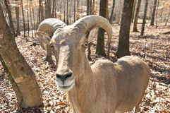 Big-horned Goat staring at the camera. Stock Images