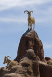 Big horned mountain goats. Several male big horned mountain goats on large rocks or boulders Stock Images