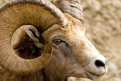 Big Horned Mountain Sheep Stock Photos