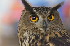 Big horned owl Stock Photography