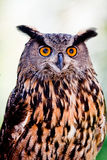 Big Horned Owl Royalty Free Stock Images
