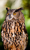 Big Horned Owl Royalty Free Stock Photos