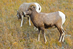 Big-Horned Sheep. Wild Big-Horned Sheep Kananaskis Country Alberta Canada royalty free stock photos