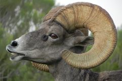 Big horned sheep. A close up of a large, male big horned sheep Stock Photos