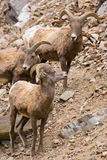 Big horned sheep Stock Photo