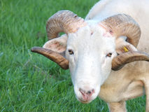 Big horned sheep in close up. Big horned sheep grazing in a field Stock Image