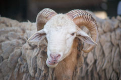 Big-horned Sheep Stock Image