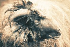 Big horned sheep portrait. Single animal royalty free stock photos
