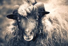 Big horned sheep portrait. Single animal royalty free stock photo