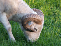Big horned sheep in profile Stock Photography