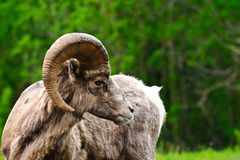 Big Horned Sheep Royalty Free Stock Image