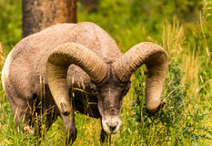 Big horned sheep Royalty Free Stock Images