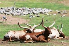 Big Horned Steer Stock Image