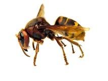Big hornet. On white background Royalty Free Stock Photos