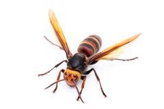 Big hornet. Closeup of a hornet on white background Stock Photos