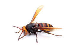 Big hornet. Closeup of a hornet on white background Stock Photography