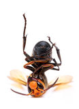 Big hornet Royalty Free Stock Image