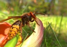 Big hornet on a flower Stock Photos