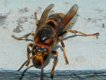A big hornet is sitting on a tree. Large and dangerous insect sitting next.  Details and close-up. stock photo