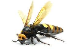 Big hornet. On white background Stock Photos