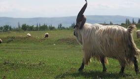 Big Hornfår huvudsakliga Alpha Male Ram i flocken av får som betar i fält i berg stock video
