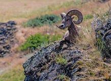 Big Hornfår på Rocky Outcropping Royaltyfri Foto