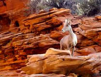 Big Hornfåret som är nära upp på rött, vaggar av Utah Royaltyfria Bilder