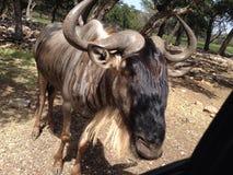 Big horns stock photo