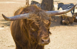 Free Big Horns Of Ox Of Watussi Royalty Free Stock Photo - 25533645