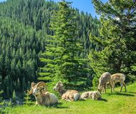 Big horns resting on a hill side, Banff National Park, Alberta, Canada. Mountain sheepp family of 5 resting and grazing on a hill Stock Images