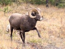 Big Hornschapen die een waarschuwing stempelen Stock Foto