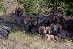 Big Hornschapen het Verzamelen zich Stock Fotografie