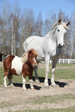 Big horse with pony friend Stock Photography